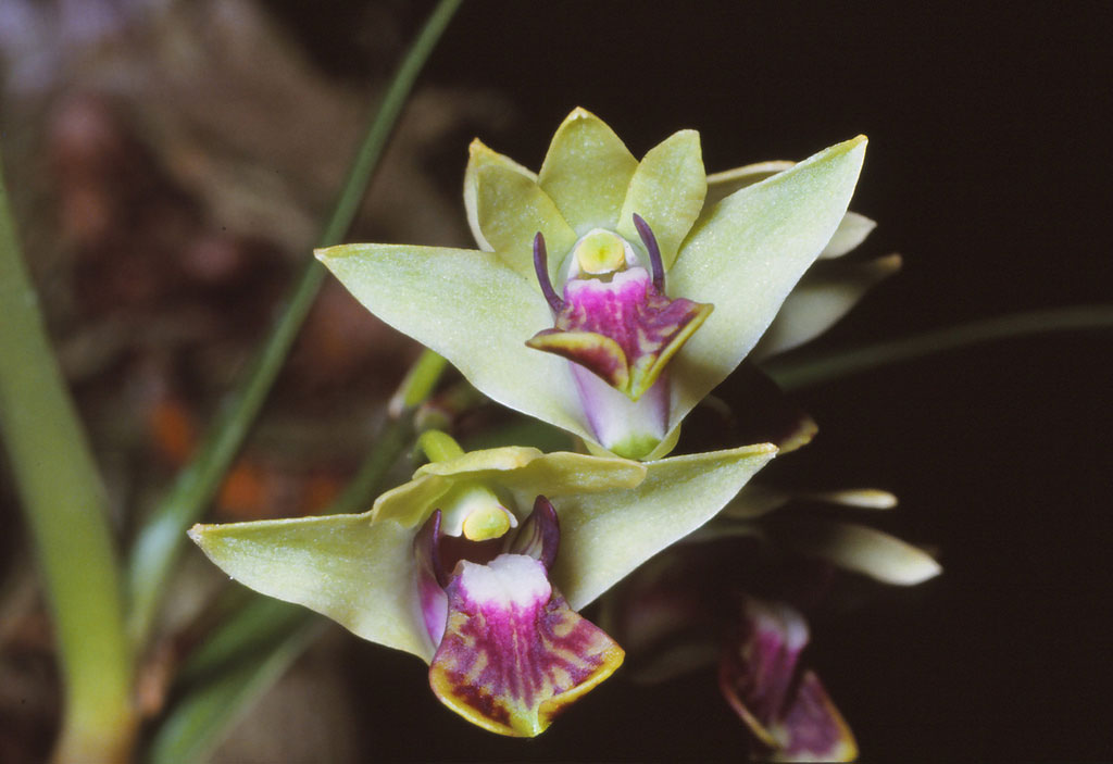 Dendrobium fellowsii