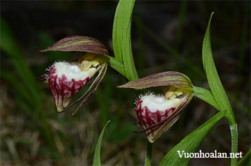 Lan hài Cypripedium Arietinum