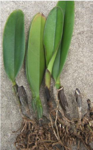 Bệnh thối chồi non và hư giả hành do nấm Phytophthora sp