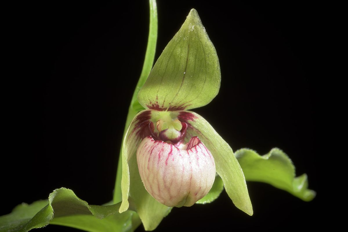 Lan hài Cypripedium debile