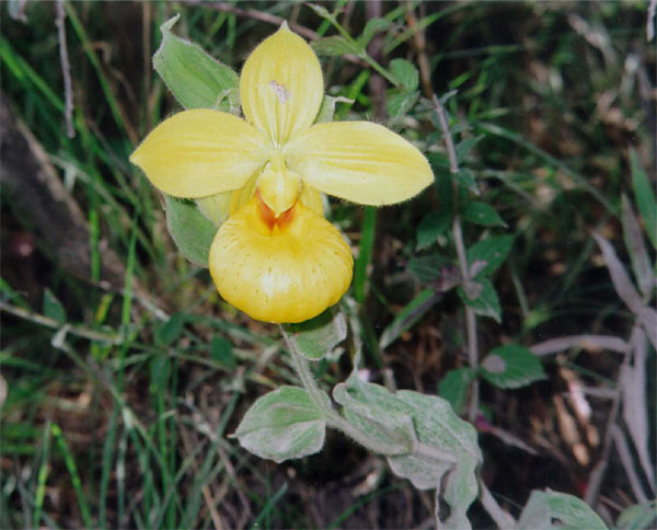 Lan hài Cypripedium dickinsonianum