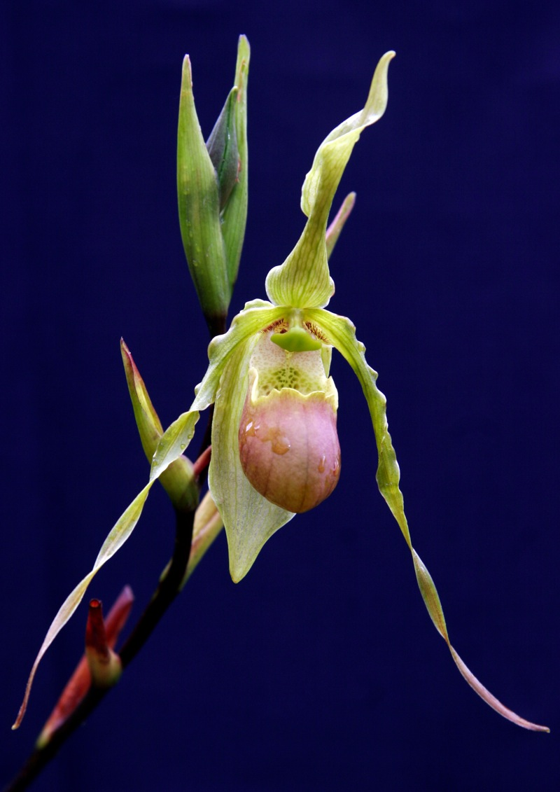 Phragmipedium hirtzii
