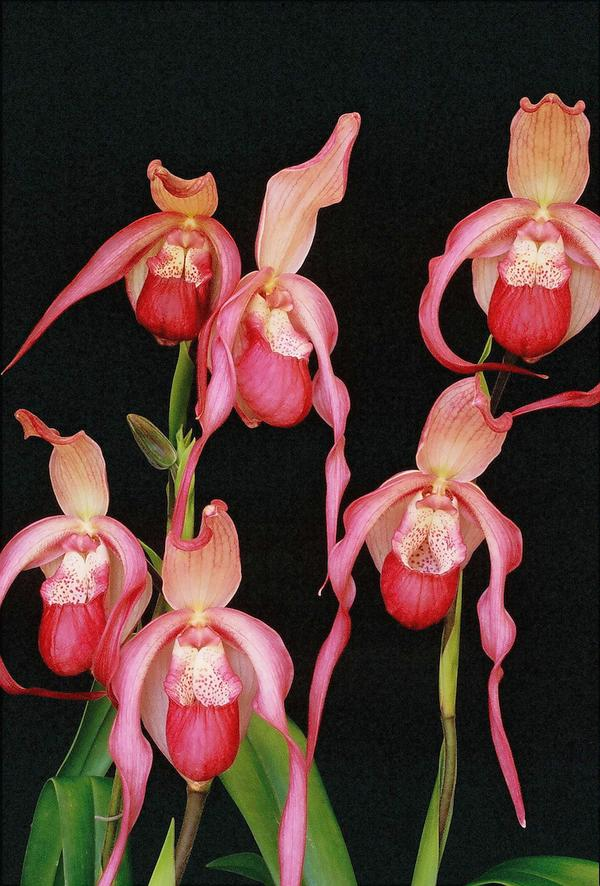 Phragmipedium schroderae
