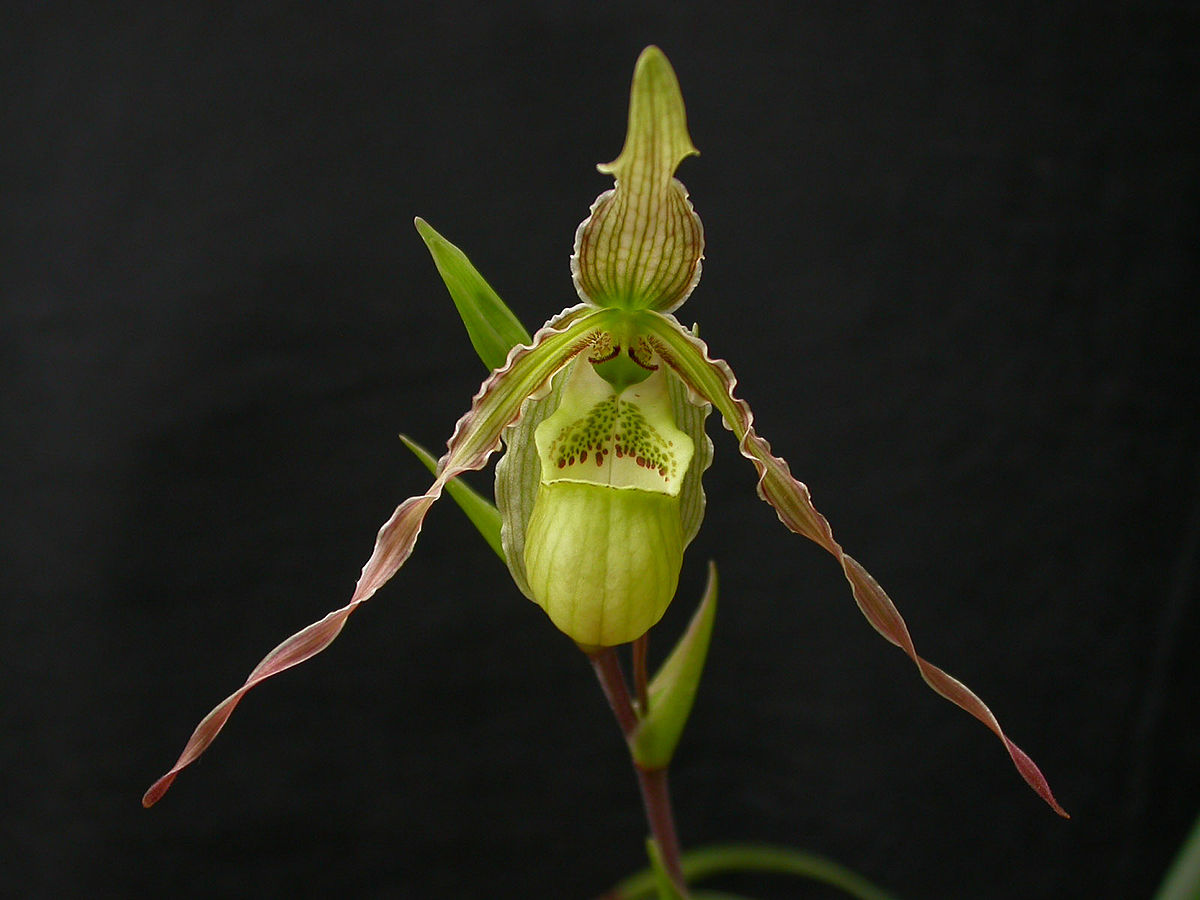 Phragmipedium richteri