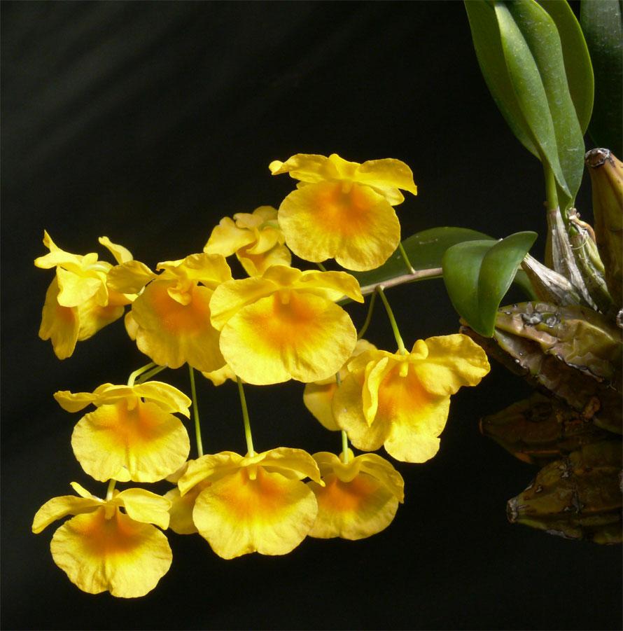 Dendrobium lindleyi – Dendrobium aggregatum, Hoàng thảo Vẩy rồng