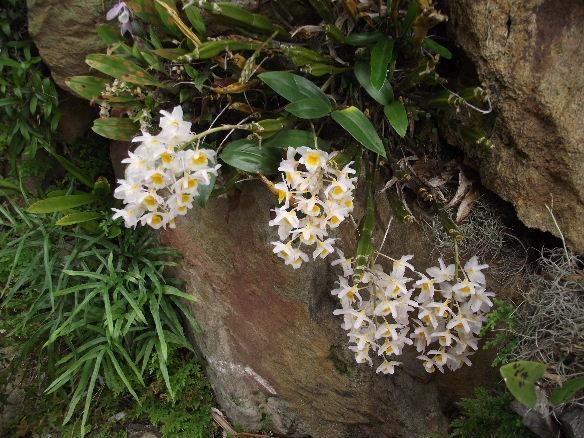 Thủy tiên trắng – Dendrobium farmeri – Kiều trắng, kiều vuông
