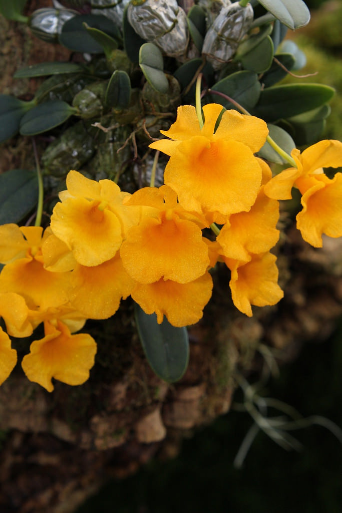 Dendrobium jenkensii, Hoàng thảo Vẩy rắn – lan vẩy rắn – lan vẩy cá – vảy cá