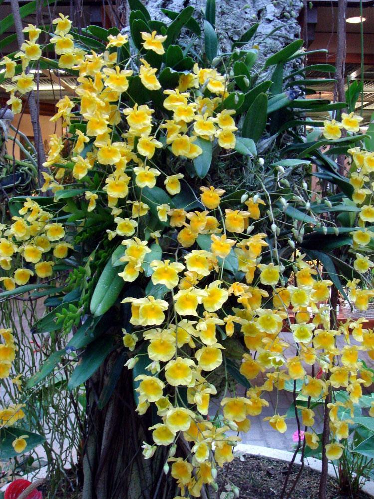 Dendrobium lindleyi, lan vảy rồng, hoàng thảo vẩy rồng