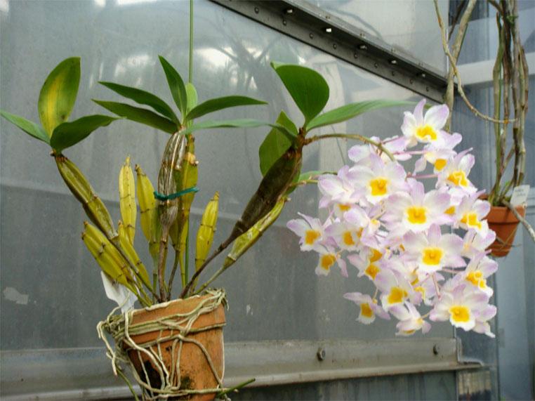 Dendrobium palpebrae, thủy tiên trắng, hoàng thảo thủy tiên vàng