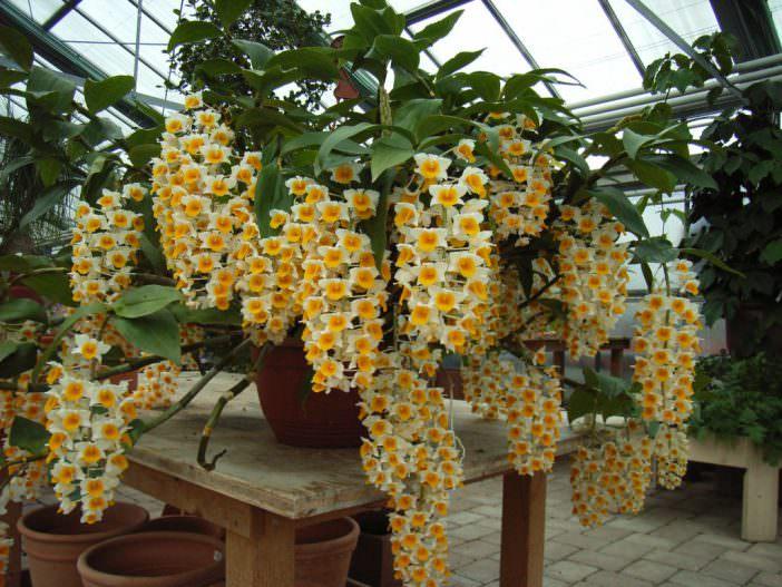 Hoàng thảo Thủy tiên cam, Dendrobium thyrsiflorum