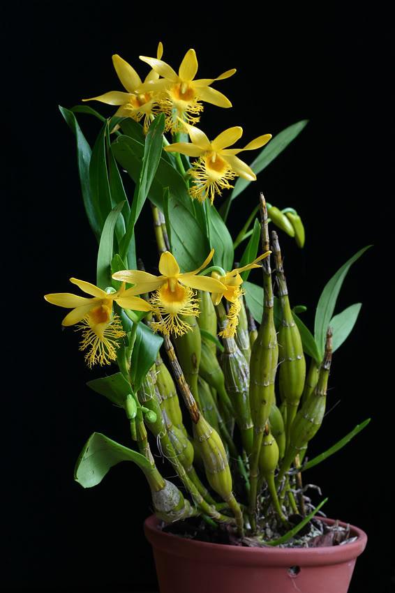 Thủy tiên râu mép, môi tơ – Dendrobium brymerianum