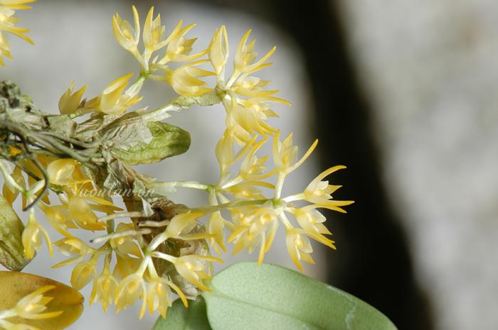 Bulbophyllum simondii - lan lọng si môn
