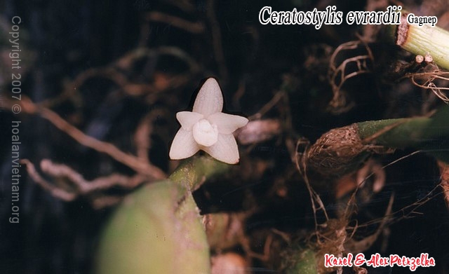 Ceratostylis evrardii, giác thư tía, lan vòi sừng đơn