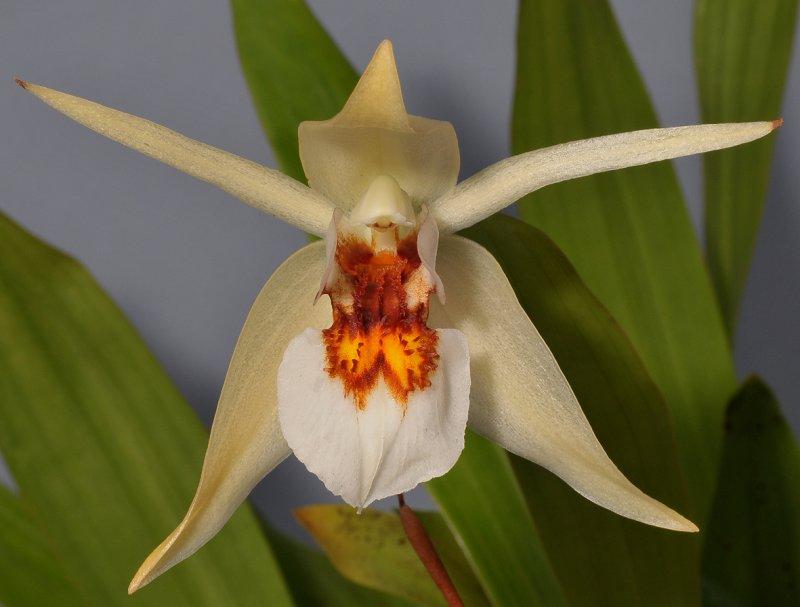 Coelogyne eberhardtii - THanh đạm Langbiang