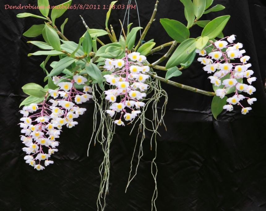 Dendrobium amabile, kiều hường, thủy tiên hường, hoàng thảo duyên dáng