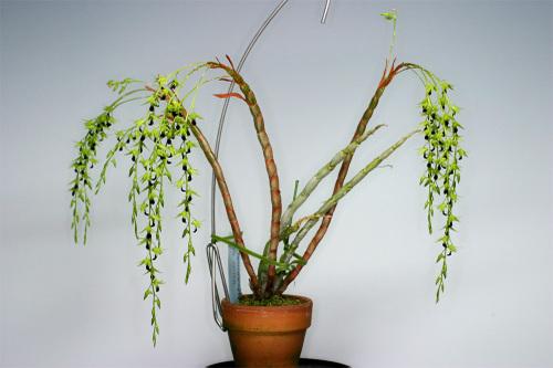 Dendrobium hemimelanoglossum, phi nữ, hoàng thảo thõng