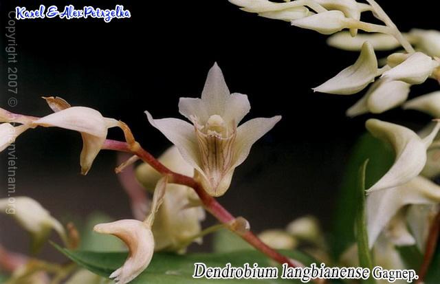 Dendrobium langbianense, hoàng thảo langbiang