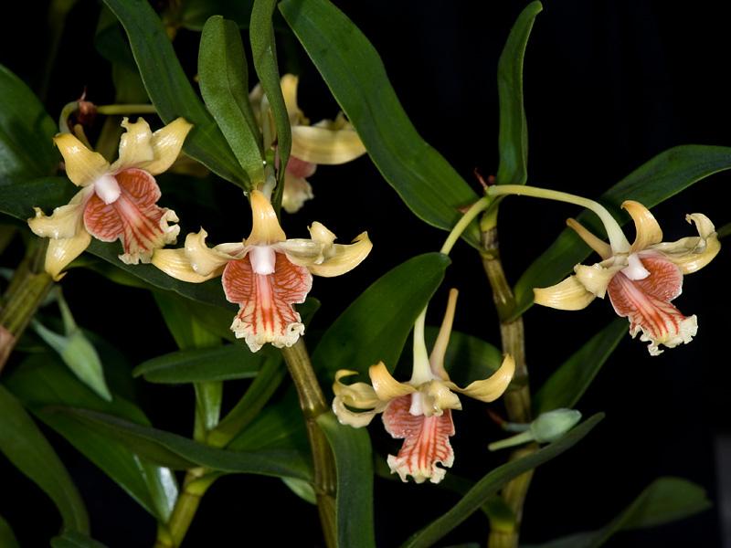 Dendrobium ochraceumde, cánh sét, hoàng thảo vàng xoăn