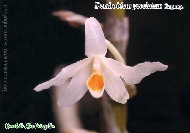 Dendrobium perulatum, hoàng thảo dẹt
