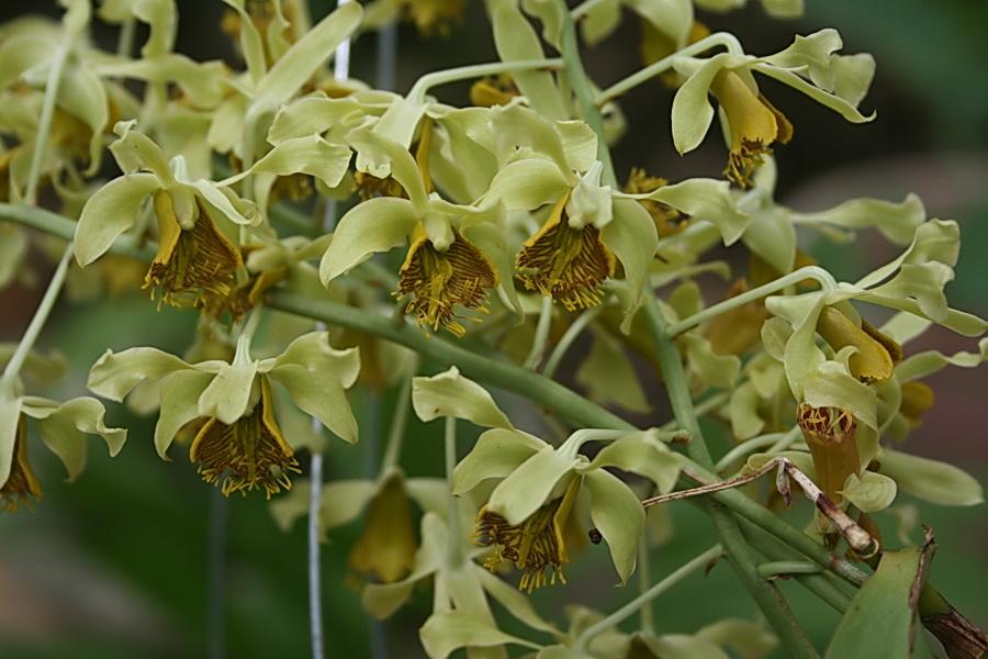 Dendrobium simondii Gagnep - hoàng thảo nam bộ