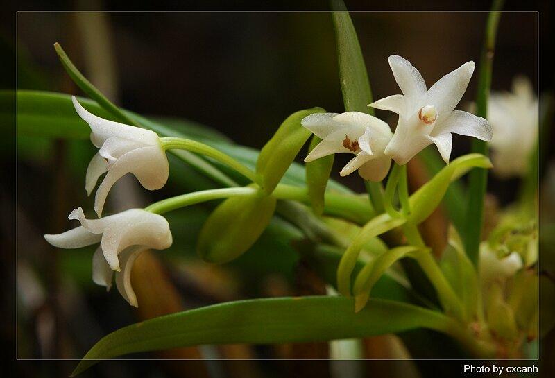 Eria dacrydium - Nĩ lan hoàng đàn, lan len ít hoa