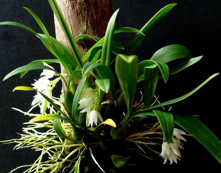 Panisea albiflora - Khúc thần trắng