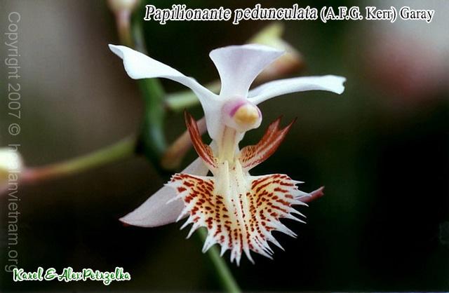 Papilionanthe pedunculata - Lan bướm long châu
