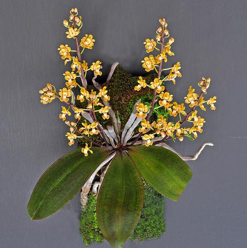 Phalaenopsis chibae Yukawa