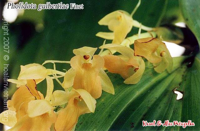 Pholidota guibertiae - Tục đoạn Guibert, tục đoạn quế