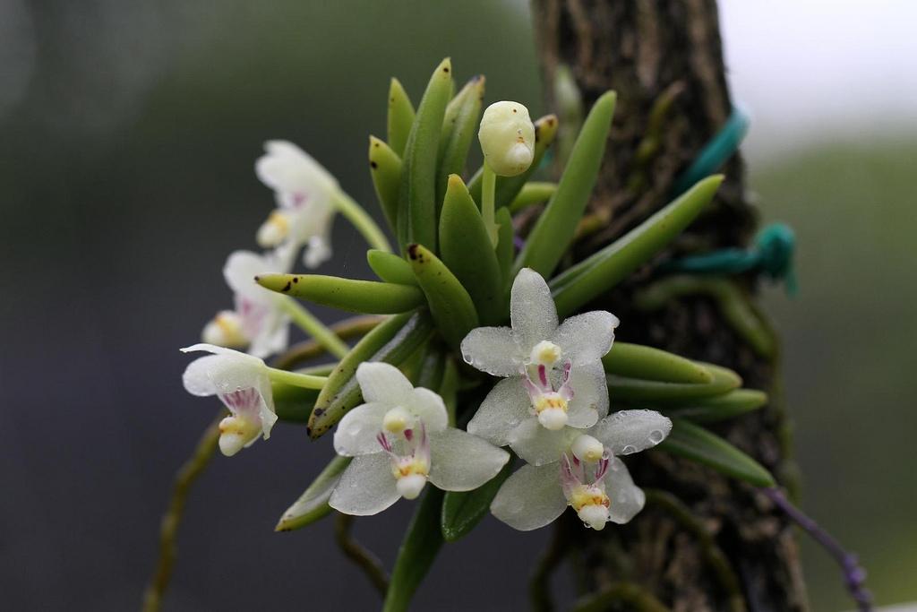 Pteroceras semiteretifolium - Dực giác bán trụ, môi sừng một hoa
