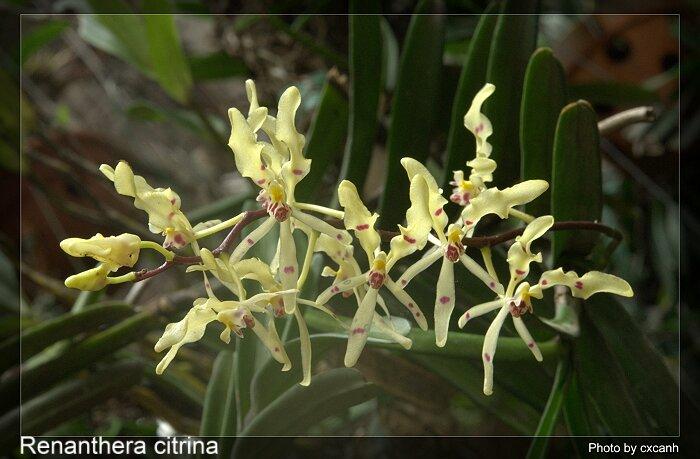 Renanthera citrina - Hoàng phượng vĩ, phượng vĩ vàng