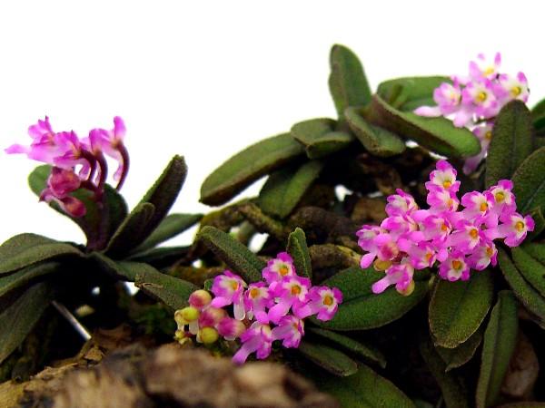Schoenorchis tixierii - Nang lan, lan trứng bướm thơm