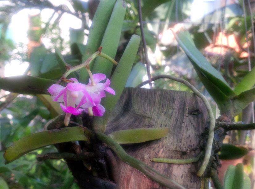 Giáng hương lá dầy - Aerides crassifolia