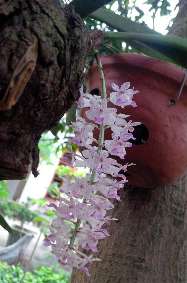 Giáng hương sóc lào - Aerides multiflora Roxbury