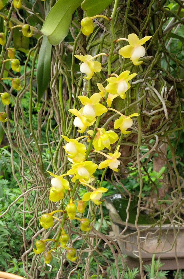 Giáng hương bạch nhạn - Aerides odorata var alba
