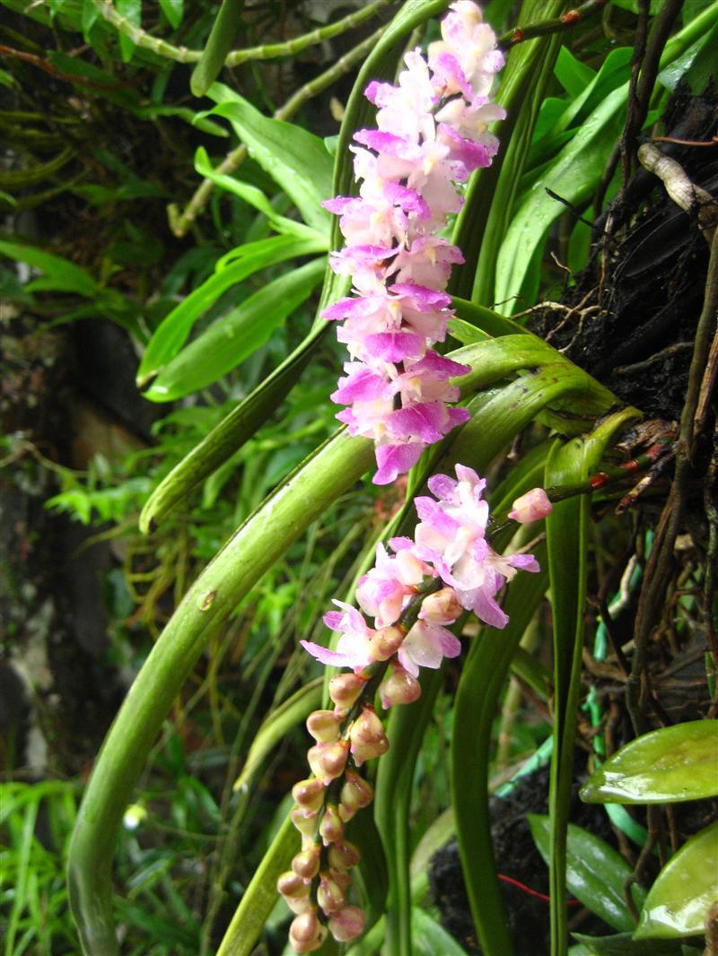 Lan Sóc Lào Đuôi Cáo, Aerides multiflora