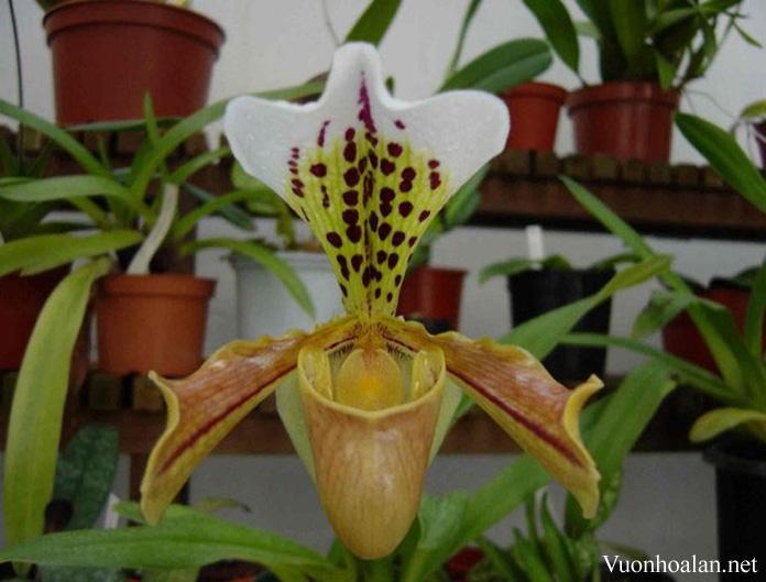 Lan hài lục- Paphiopedilum gratrixianum