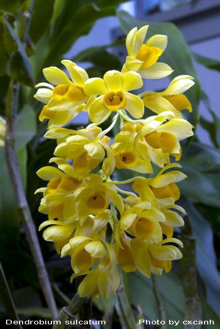 Thuỷ tiên dẹt – Kiều dẹt – Dendrobium sulcatum