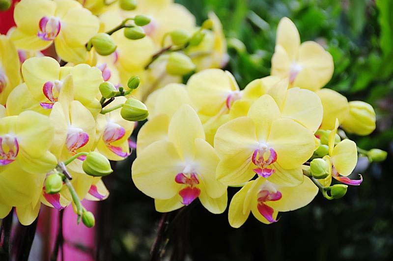 Lan hồ điệp màu vàng là món quà hoa khai trương thích hợp
