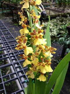 ONCIDIUM BIG GOLDEN