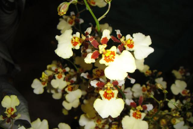 ONCIDIUM SNOW WHITE